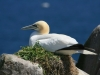 gannet-on-greater-saltee-island