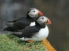puffins-on-greater-saltee-island